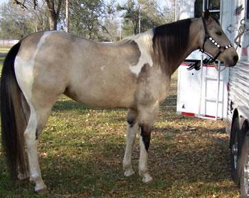 Barrel Racing Barrel Racing Horses For Sale In Texas