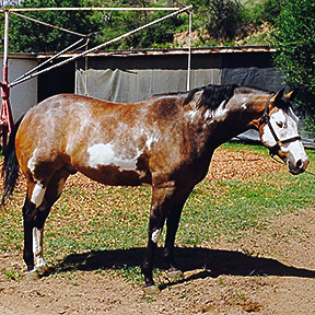 apha bay overo for sale.