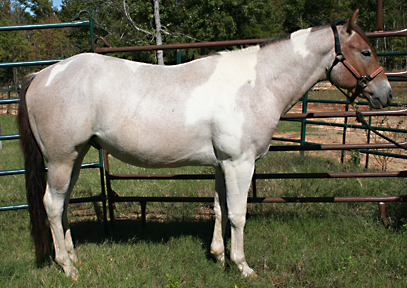 bay roan stallion for sale